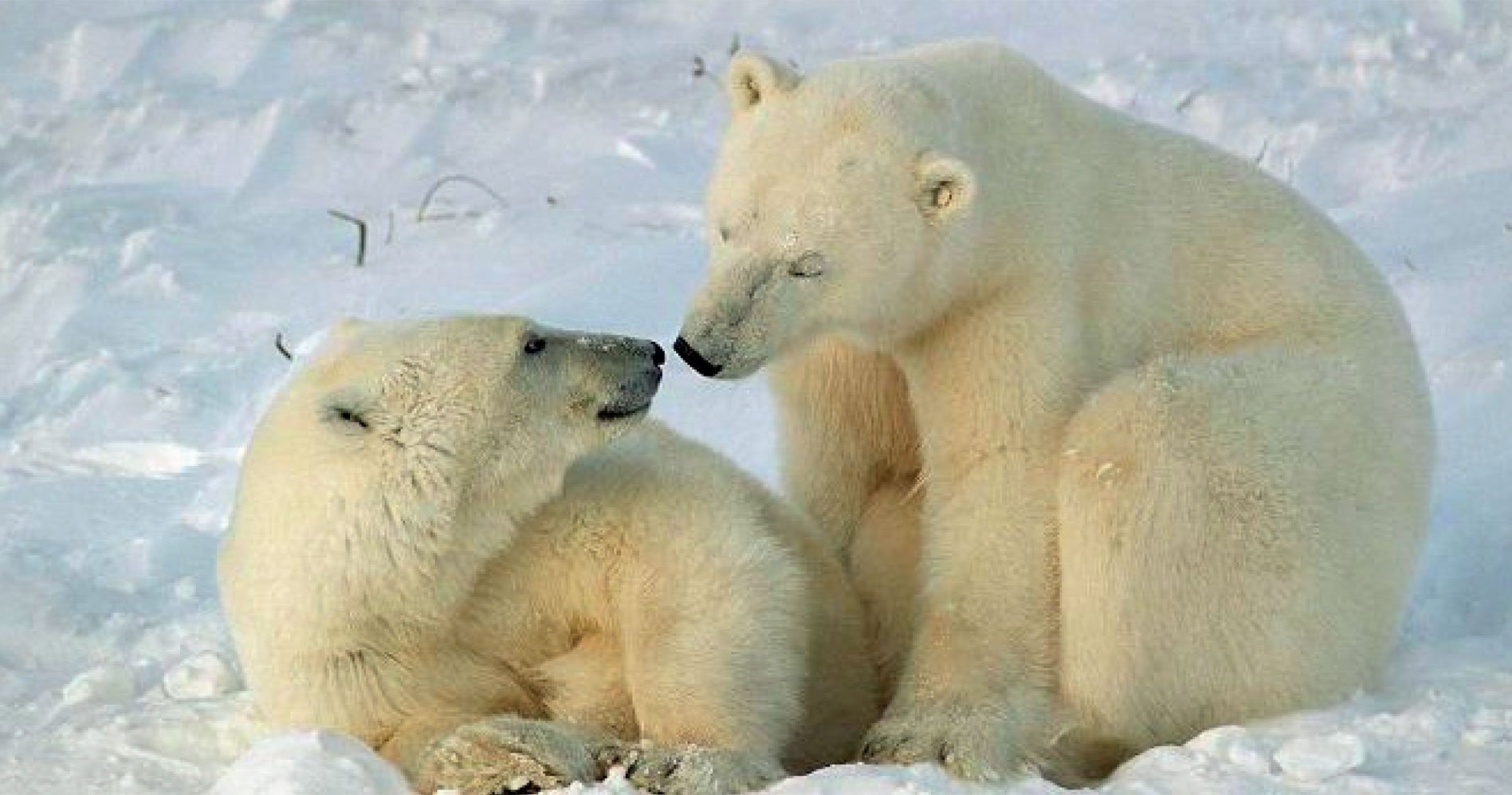 polar-bears-international-web-block.jpg
